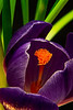 Welcome, Spring!  A crocus bloom brings much welcome color after a dark, grey, NW winter.<br /> Photo © Cindy Clark