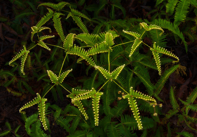 Ferns unfurl near the steam vents at Volcano National Park on the Big Island.<br /> Photo © Cindy Clark