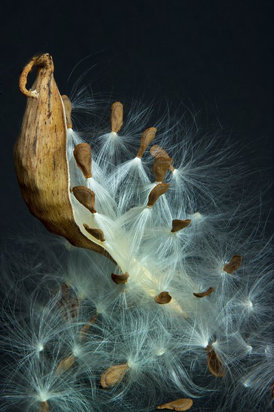Seeds dance when released from the pod!<br /> Photo © Cindy Clark