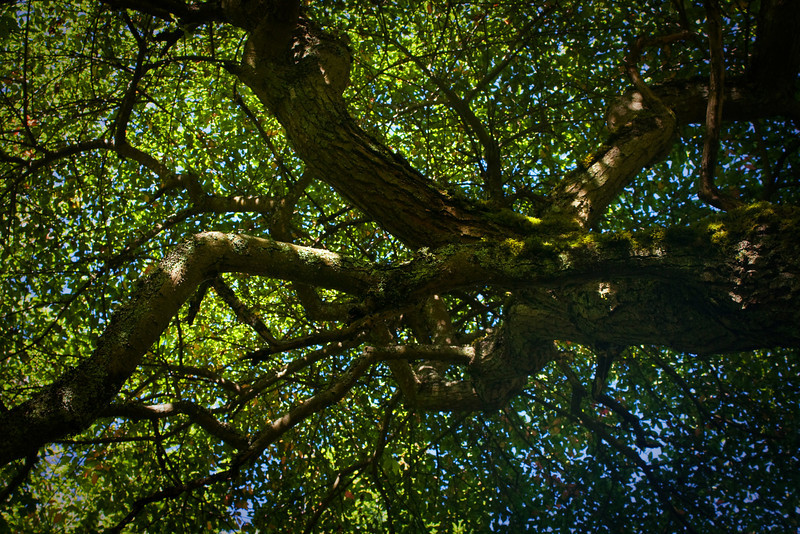 A lovely summer experience - look up into a sweet gum tree.<br /> Photo © Cindy Clark