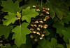 This is an oak leaf hydrangea in the Arboretum.<br /> Photo © Cindy Clark
