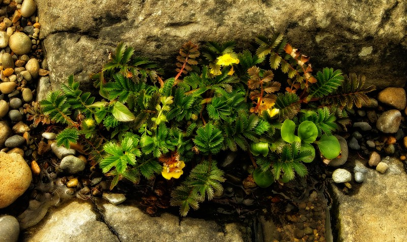 This is a type of rose called Silverweed that grows in coastal and marshy environments.  This photo was taken at Cape Perpetua on the Oregon coast.<br /> Photo © Cindy Clark.