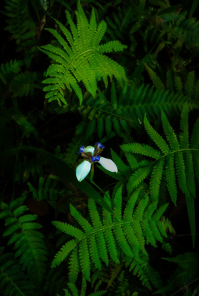 A wild orchid blooms near the trail at Akaka Falls park on the Big Island.<br /> Photo © Cindy Clark