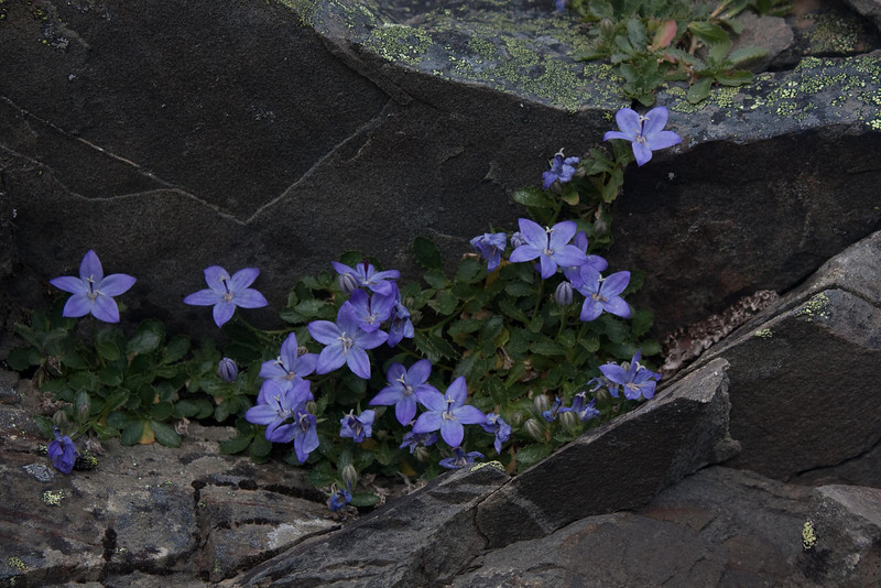 Appropriately photographed on a hike in the Olympic Mountains, Olympic Bellflowers shyly peek from a rock crevasse.<br /> Photo © Cindy Clark