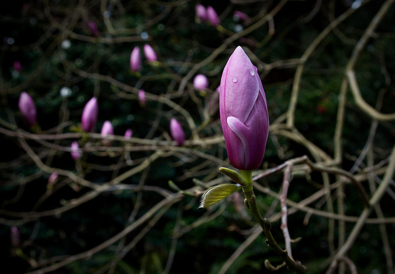 Soft porn or magnolia buds?<br /> Photo © Cindy Clark