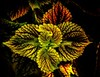 A whirl of coleus color!<br /> © Cindy Clark