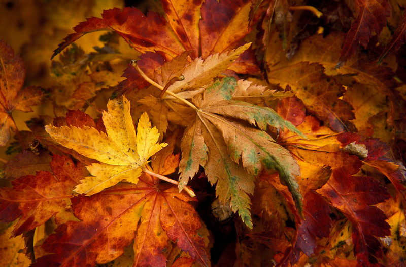 A Japanese maple readies for winter.<br /> Photo © Carl Clark