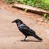 2018 - Raven, Muir Woods