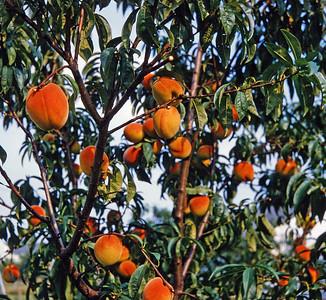 1981 - Fruit trees, Hawaii