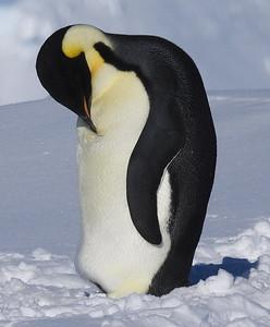Emperor penguins at Bartlett Inlet, Antarctica