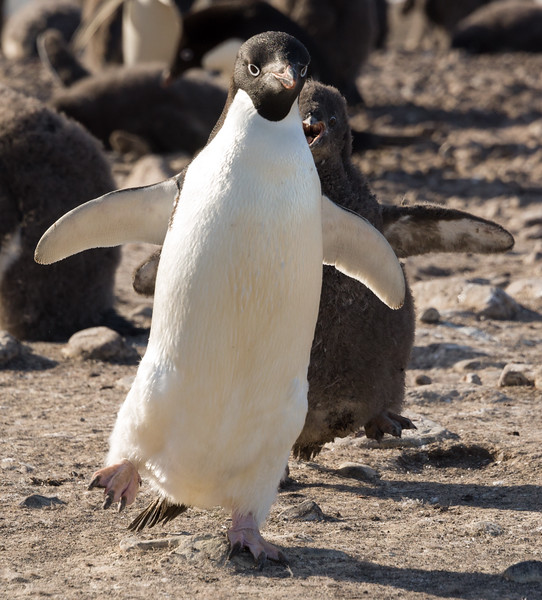 Adelie penguin chicks chase their parents for food at Franklin Island, Antarctica