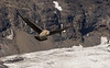 Skuas flying over the Adelie penguin colony