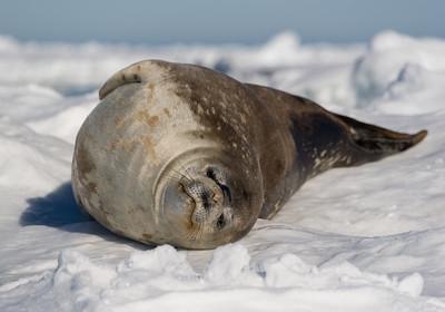 Visting Weddell Seals near Coulman Island, Antarctica