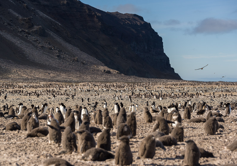 Adelie penguin rookery on Franklin Island, Antarctica