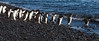 Adelie penguins heading out to sea from Franklin Island, Antarctica