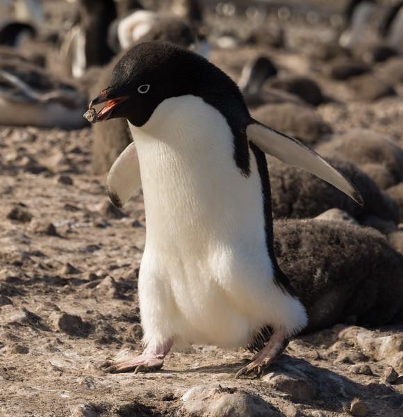 An Adelie penguin builds a nest with rocks on Franklin Island, Antarctica