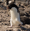 An Adelie penguin builds a nest with rocks on Franklin Island, Antarctica