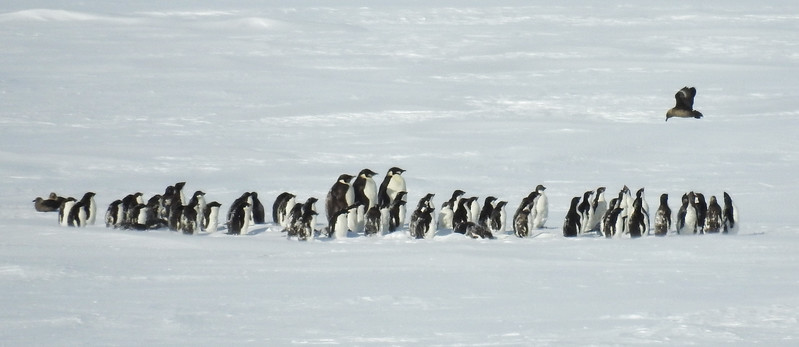 Emperor penguins on the Ross Ice Shelf in the Bay of Whales