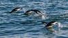 Adelie penguins near Franklin Island, Ross Sea, Antarctica