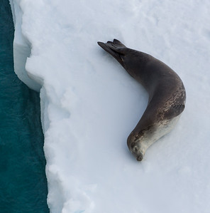 Seals in the Bay of Whales, Antarctica