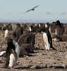 Adelie penguin rookery on Franklin Island, Antarctica