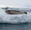 Leopard seal in the Bay of Whales, Antarctica