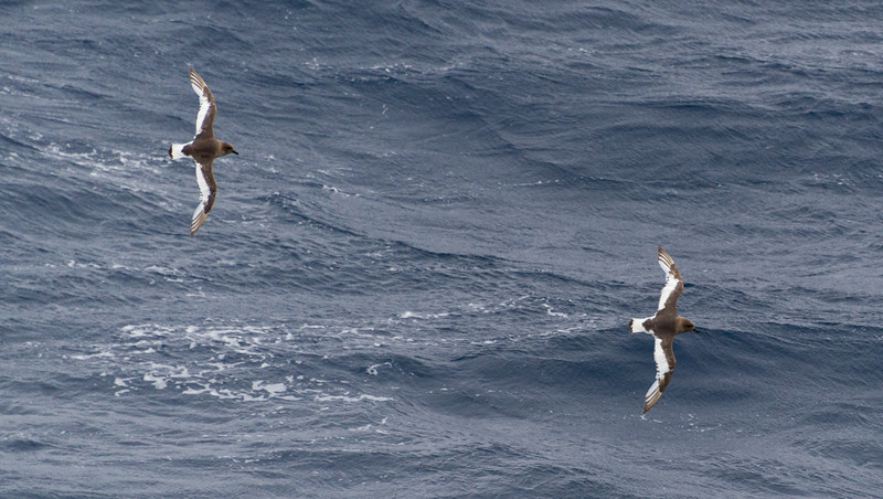 Sea birds in the sub-Antarctic region