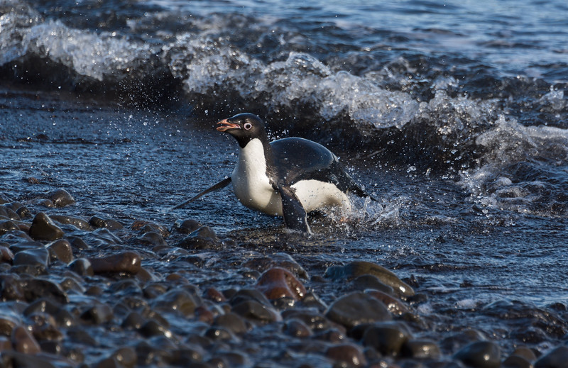 Adelie penguin adults return to a rookery on Franklin Island after feeding on krill in the Ross Sea