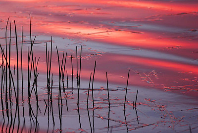 Reeds with sunrise reflections