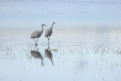 Crane companions, New Mexico