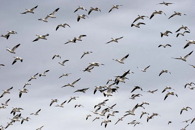 Snow geese takeoff, New Mexico