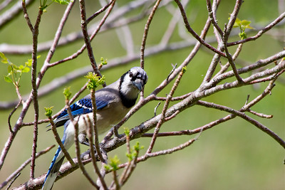 Blue Jay, April 12, 2015.