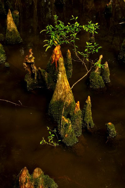 A miniature scene with cypress knees at the Audubon Beidler Forest in South Carolina.<br /> Photo © Carl Clark