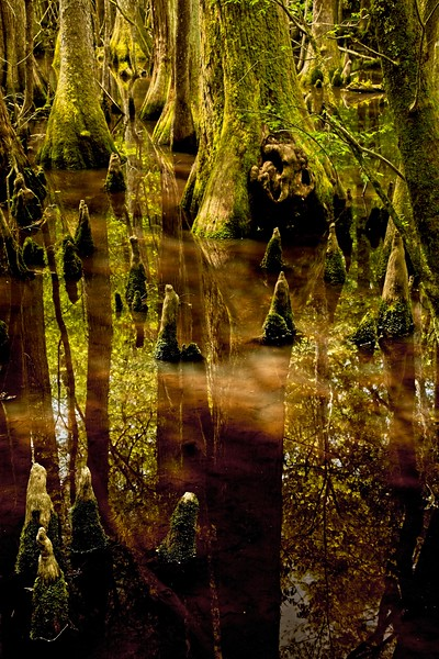 Reflections in the water at the Audubon Beidler Forest in South Carolina.<br /> Photo © Carl Clark