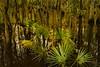 The Audubon  Beidler Forest is the world's largest virgin cypress-tupelo swamp forest. Near Charleston.<br /> Photo © Cindy Clark