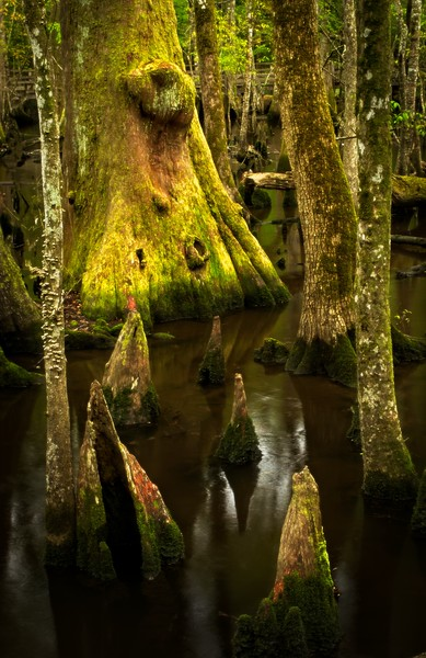 Cypress knees in a flooded forest near Charleston.<br /> Photo © Cindy Clark