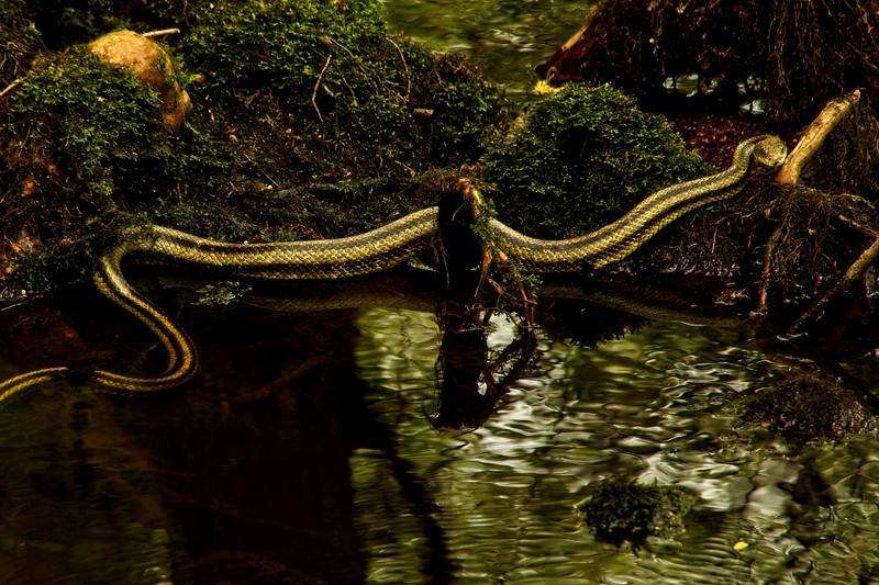 A Greenish Rat Snake stretches out at the Audubon Beidler Forest in South Carolina.<br /> Photo © Carl Clark