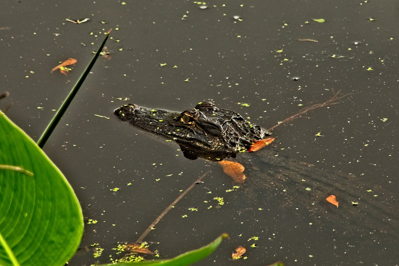 A small alligator takes a break at Middleton Place Plantation in South Carolina.<br /> Photo © Carl Clark