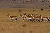 Pronghorn antelopes on the run near Magdelena.<br /> Photo © Carl Clark