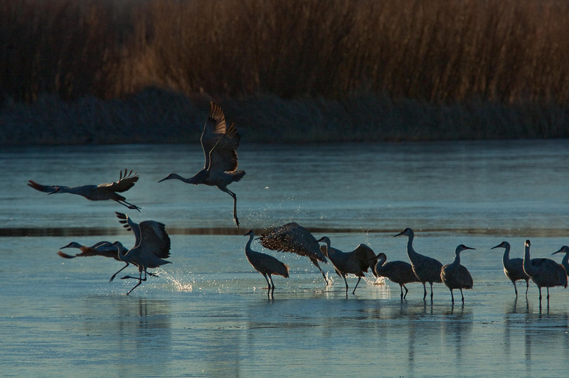 Ready for takeoff!  Sandhill cranes at Bosque del Apache.<br /> Photo © Cindy Clark