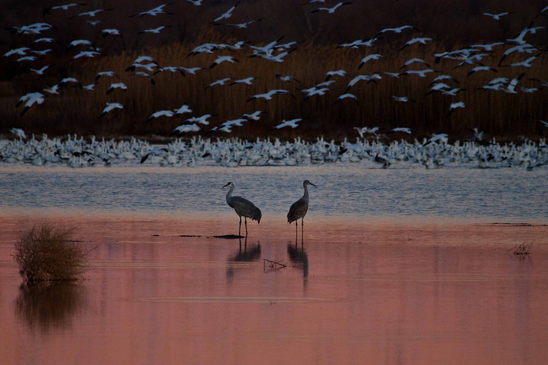 Sandhill cranes calmly observe the frenzied action of snow geese at Bosque del Apache.<br /> Photo © Carl Clark
