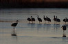 Spelling out the day's flight plan at Bosque del Apache.<br /> Photo © Carl Clark