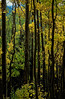 They quake!  They dance!  Aspens near Santa Fe.<br /> Photo © Cindy Clark