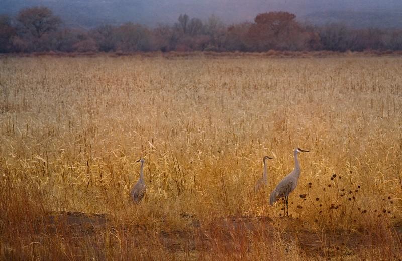 Sandhill cranes at Bosque del Apache, New Mexico.<br /> Photo © Cindy Clark