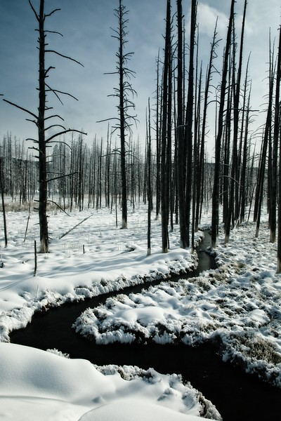 """Dead lodgepole pines are referred to as """"bobby sock trees"""" because their lower trunks absorb minerals from the hot springs.<br /> Photo © Cindy Clark"""