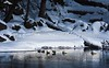 Sleeping waterfowl on the Firehole River in Yellowstone National Park. <br /> Photo © Cindy Clark