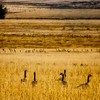 Winter's coming, and the geese in this field know it.  October in Wyoming.<br /> Photo © Cindy Clark