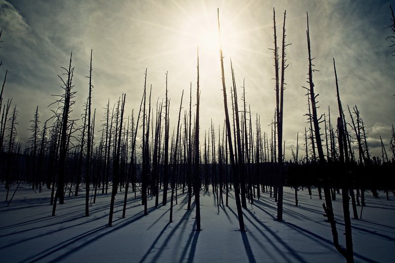 Dead lodge pole pines against a dramatic sky at Yellowstone. The trees die when the hydrothermal areas move.<br /> Photo © Cindy Clark