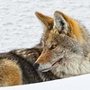 Though seemingly at rest this Yellowstone coyote is ever watchful<br /> Photo © Carl Clark