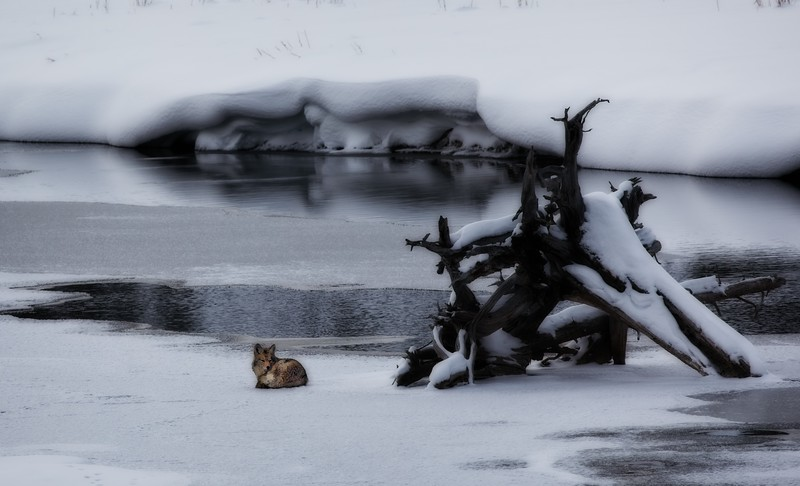 Coyote awakened. In Yellowstone National Park.<br /> Photo © Cindy Clark